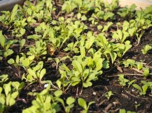 arugula-sprouts